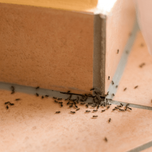 Domestic Pest Control - Ants